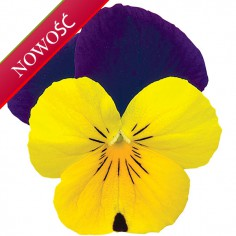 Fiołek rogaty (Viola cornuta) - Rocky - Yellow with Purple Wing
