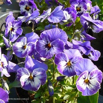 Fiołek rogaty (Viola cornuta) - Butterfly - Blue White