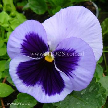 Bratek ogrodowy (Viola wittroctiana) - Colossus - Ocean