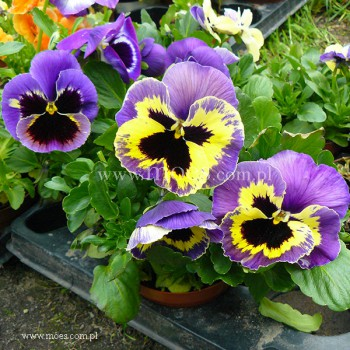 Bratek ogrodowy (Viola wittroctiana) - Colossus - Tricolor