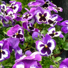 Bratek ogrodowy (Viola wittroctiana) - Delta - Violet and White
