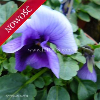 Fiołek rogaty (Viola cornuta) - Butterfly - Beacon Blue