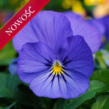Fiołek rogaty (Viola cornuta) - Butterfly - Blue