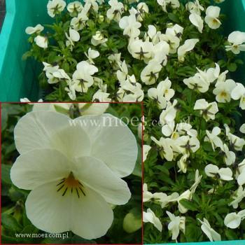Fiołek rogaty (Viola cornuta) - Butterfly - Cream