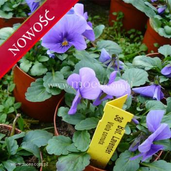 Fiołek rogaty (Viola cornuta) - Butterfly - Lavender