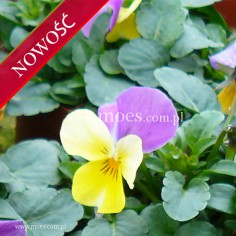 Fiołek rogaty (Viola cornuta) - Butterfly - Pink Yellow