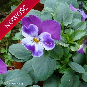 Fiołek rogaty (Viola cornuta) - Butterfly - Rose White Eye