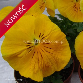 Bratek ogrodowy (Viola wittroctiana) - Colossus - Golden Yellow