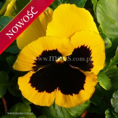 Bratek ogrodowy (Viola wittroctiana) - Delta - Gold with Blotch
