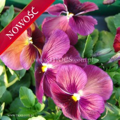 Bratek ogrodowy (Viola wittroctiana) - Delta - Lavender Surprise