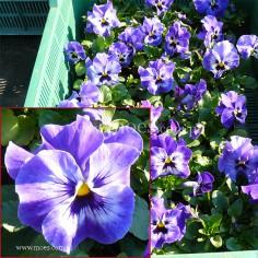Bratek ogrodowy (Viola wittroctiana) - Delta - Marina