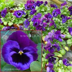 Bratek ogrodowy (Viola wittroctiana) - Delta - Neon Violet
