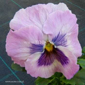 Bratek ogrodowy (Viola wittroctiana) - Delta - Pink Shades