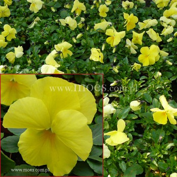 Bratek ogrodowy (Viola wittroctiana) - Delta - Pure Lemon Improved