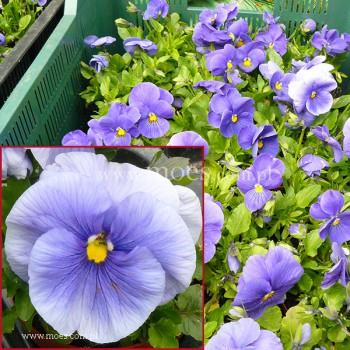 Bratek ogrodowy (Viola wittroctiana) - Delta - Pure Light Blue