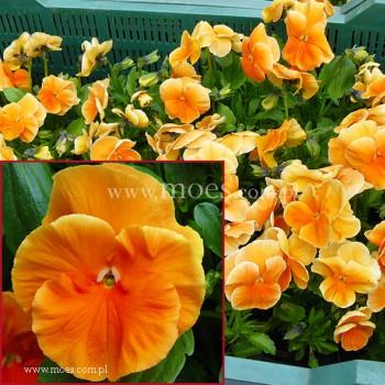 Bratek ogrodowy (Viola wittroctiana) - Delta - Pure Orange