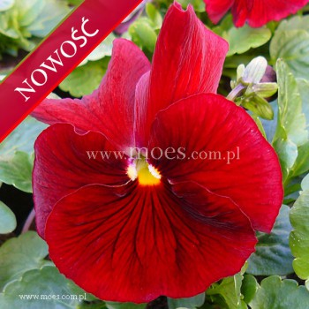 Bratek ogrodowy (Viola wittroctiana) - Delta - Pure Red