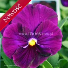 Bratek ogrodowy (Viola wittroctiana) - Delta - Pure Violet
