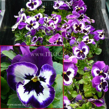 Bratek ogrodowy (Viola wittroctiana) - Delta - Violet and White