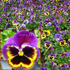 Bratek ogrodowy (Viola wittroctiana) - Delta - Yellow with Purple Wing