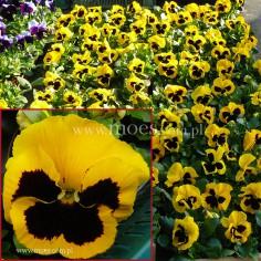 Bratek ogrodowy (Viola wittroctiana) - Delta - Yellow with Blotch