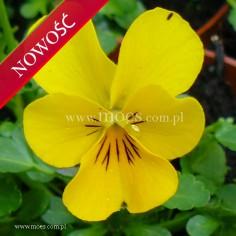 Fiołek rogaty (Viola cornuta) - Rocky - Hello Yellow