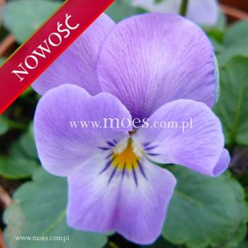 Fiołek rogaty (Viola cornuta) - Rocky - Pink Lavender