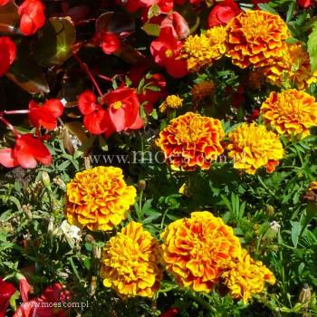 Aksamitka (Tagetes) - Bonanza - Bee