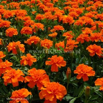 Aksamitka (Tagetes) - Bonanza - Orange