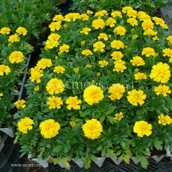 Aksamitka (Tagetes) - Bonanza - Yellow
