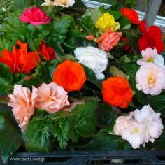 Begonia bulwiasta (Begonia tuberhybrida) - Go-Go - Mix