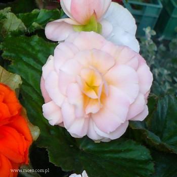 Begonia bulwiasta (Begonia tuberhybrida) - NonStop - Apple Blossom