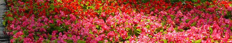 Begonia stale kwitnąca <br>(Begonia semperflorens)