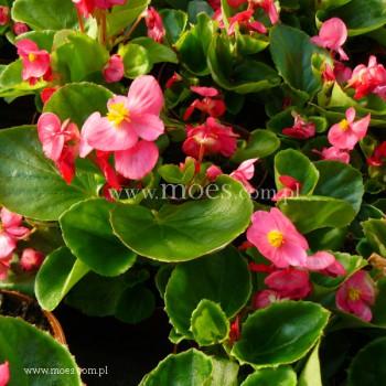 Begonia stale kwitnąca (Begonia semperflorens) - Juwel - Rose