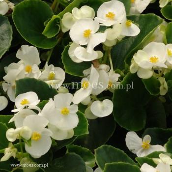 Begonia stale kwitnąca (Begonia semperflorens) - Juwel - White