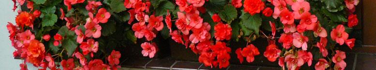 Begonia zimowa <br>(Begonia elatior)