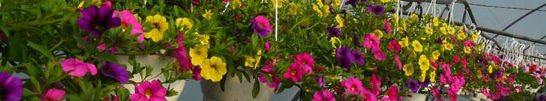 Calibrachoa <br>(Calibrachoa x hybrida)