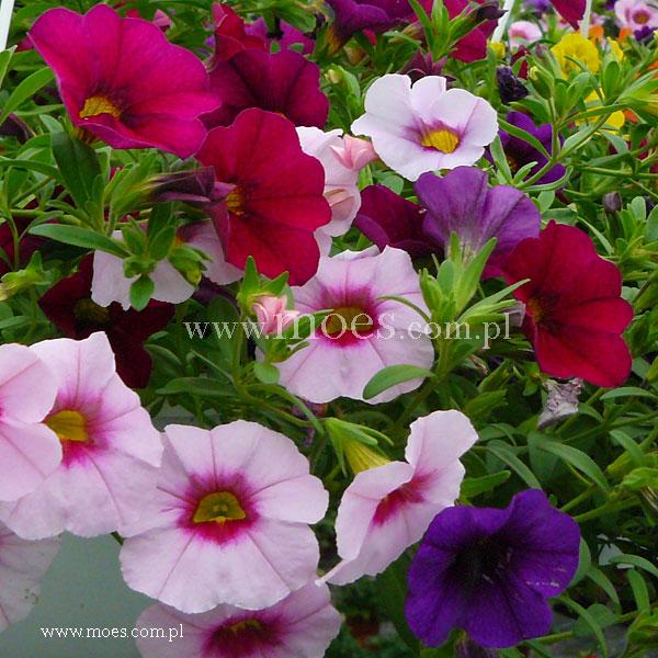 Calibrachoa calibrachoa x hybrida trixi pastel - Calibrachoa trixi ...
