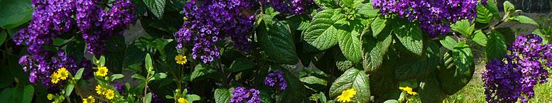 Heliotrop ogrodowy <br>(Heliotropium arborescens)