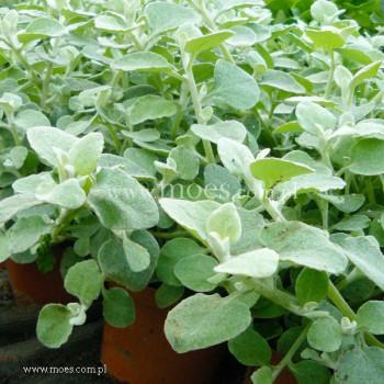 Kocanka włochata (Helichrysum petiolare) - Silver bush