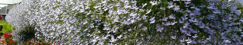 Lobelia przylądkowa <br>(Lobelia erinus)