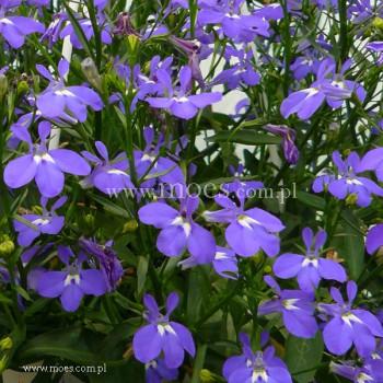 Lobelia przylądkowa (Lobelia erinus) - Laguna - Trailing Dark Blue