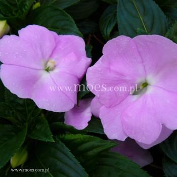 Niecierpek Nowogwinejski (Impatiens New Guinea) - Sonic - Light lavender