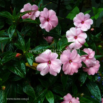 Niecierpek Nowogwinejski (Impatiens New Guinea) - Sonic - Light Pink