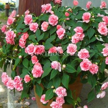 Niecierpek sułtański (Impatiens walleriana) - Fiesta - Pink Ruffle