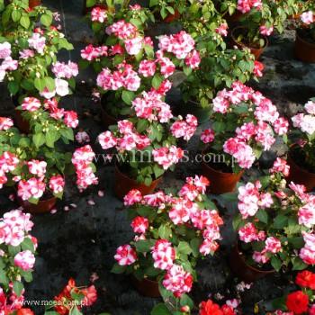 Niecierpek sułtański (Impatiens walleriana) - Fiesta - Sparkler Cherry