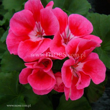 Pelargonia ogrodowa stojąca (Pelargonium zonale) - Toscana - Claudio