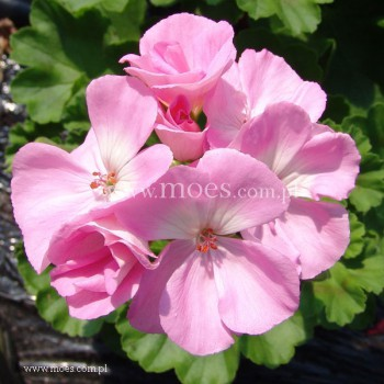 Pelargonia ogrodowa stojąca (Pelargonium zonale) - Toscana - Gesa