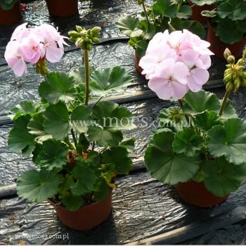 Pelargonia ogrodowa stojąca (Pelargonium zonale) - Toscana - Karen