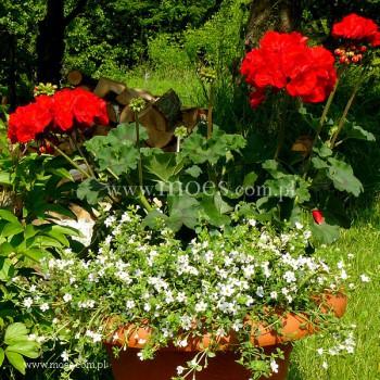 Pelargonia ogrodowa stojąca (Pelargonium zonale) - Toscana - Magnus